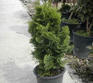 Giovane esemplare di chamaecyparis obtusa nana gracilis for Cipresso in vaso